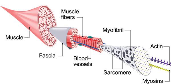 Skeketal Muscle Fascia Image