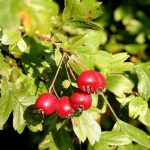 hawthorn fruit - shan zha - treatment for food stagnation - chinese medicine